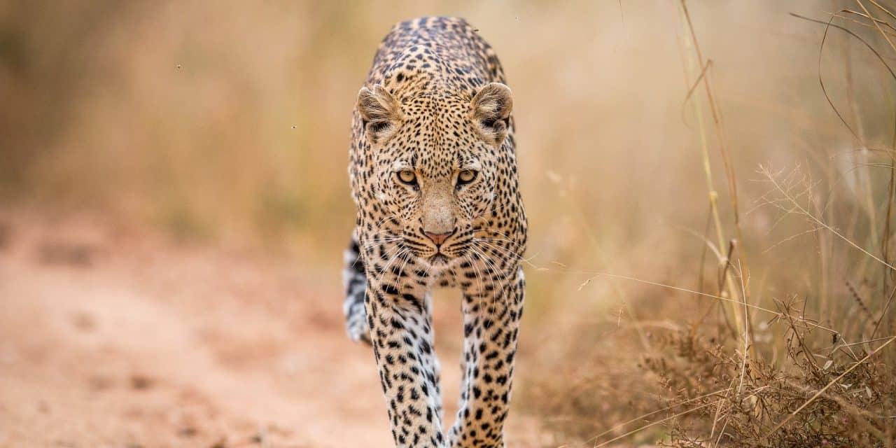 https://mytravelxp.com/wp-content/uploads/2021/03/south-africa-kruger-leopard-istock-592671734-simoneemanphotography-2048x1365web-1280x640.jpg