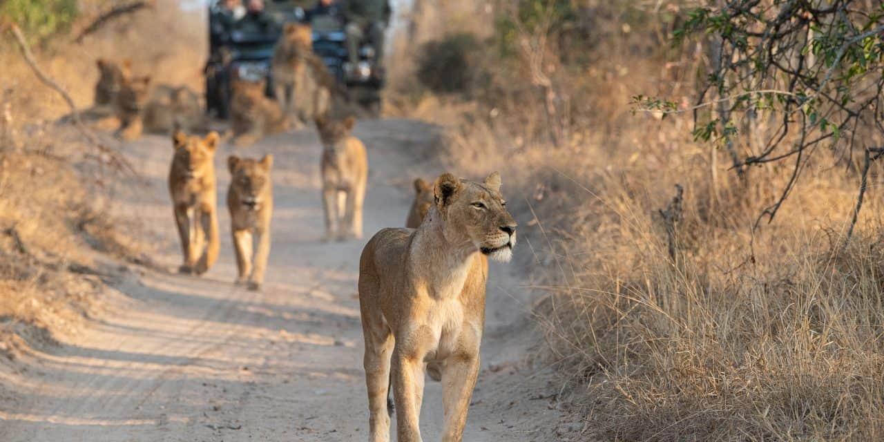 https://mytravelxp.com/wp-content/uploads/2021/03/south-africa-safari-lion-istock-1286897311-rudihulshof-2048x1367web-1280x640.jpg