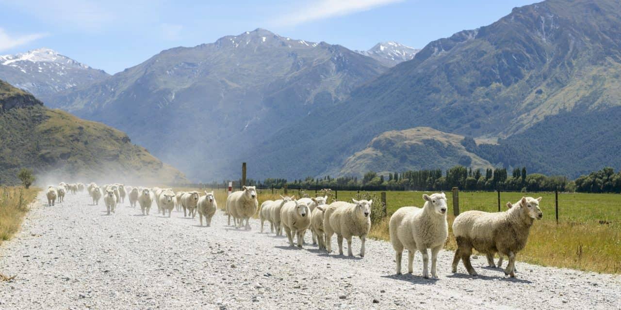 https://mytravelxp.com/wp-content/uploads/2021/05/new-zealand-sheep-mount-aspiring-national-park-wanaka-southern-alps-istock-484341919-renelo-2048x1365web-1280x640.jpg