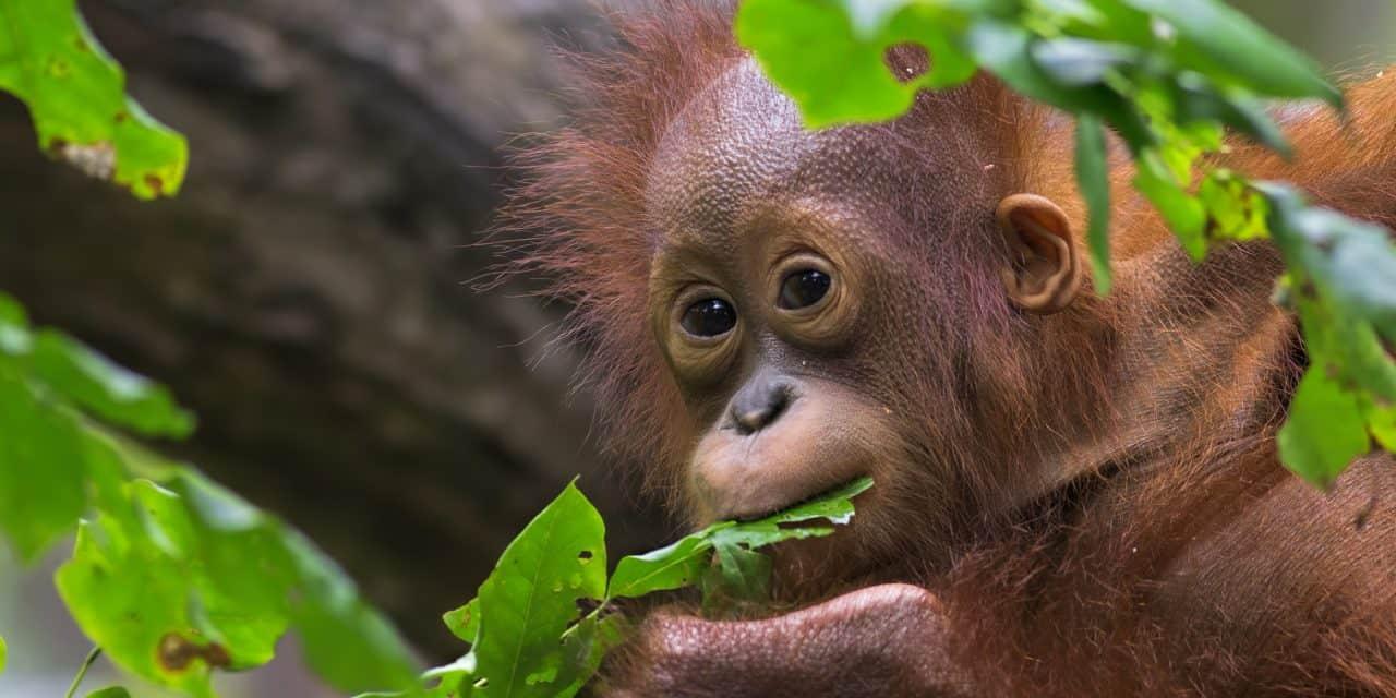 https://mytravelxp.com/wp-content/uploads/2021/06/borneo-orangutan-iStock-517743881-kjorgen-2048x1365-1-1280x640.jpg